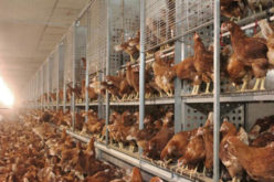 Innovations in Pullet Rearing for the Commercial Egg Sector
